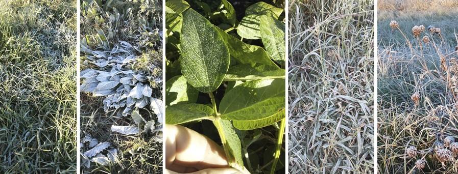 Heladas tempranas complican los ciclos en lotes de soja y sorgos de la zona